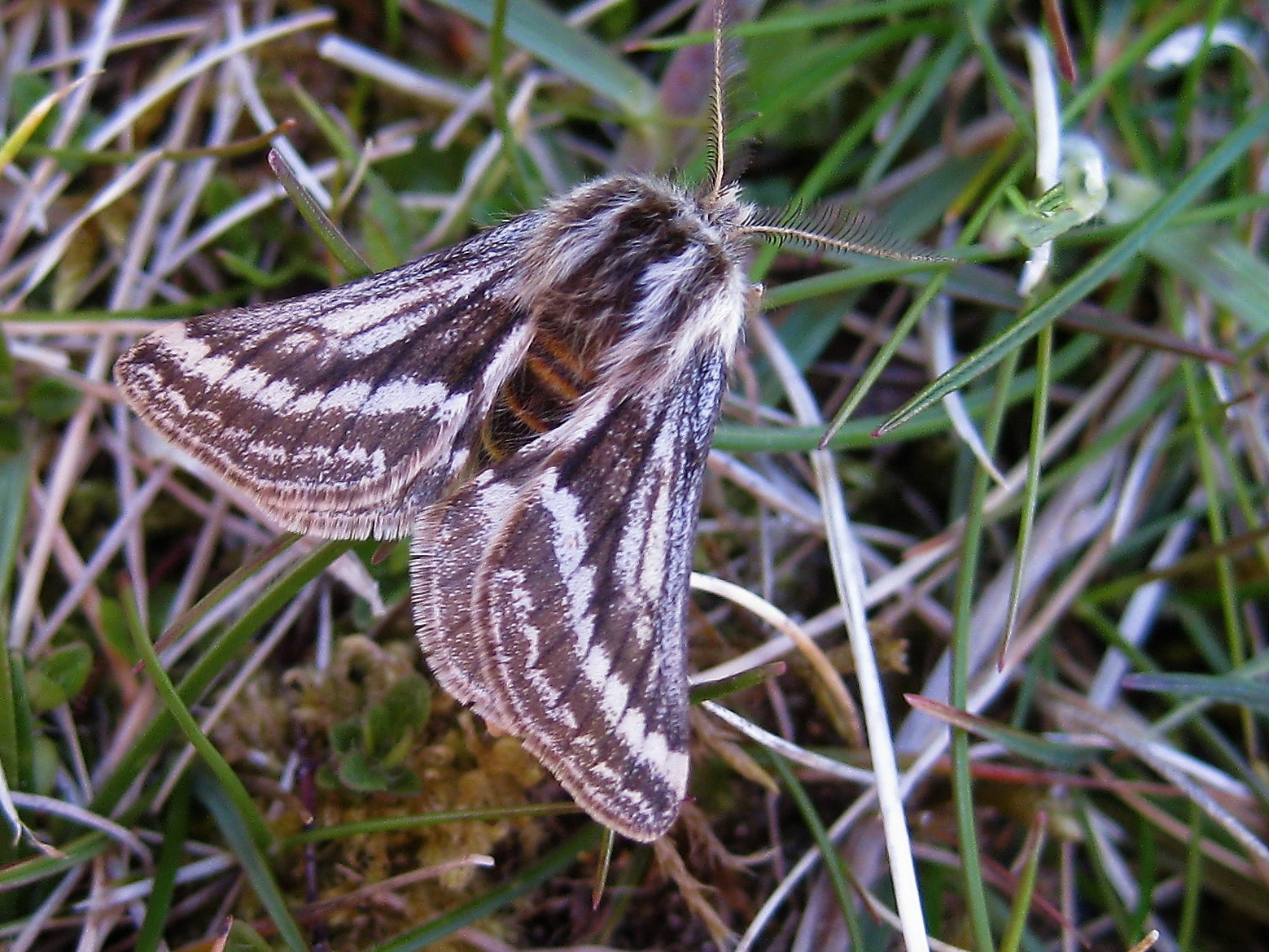 The Belted Beauty Moth