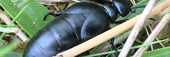 The Short-necked Oil Beetle